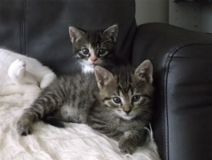wie hören sich rollige katzen an